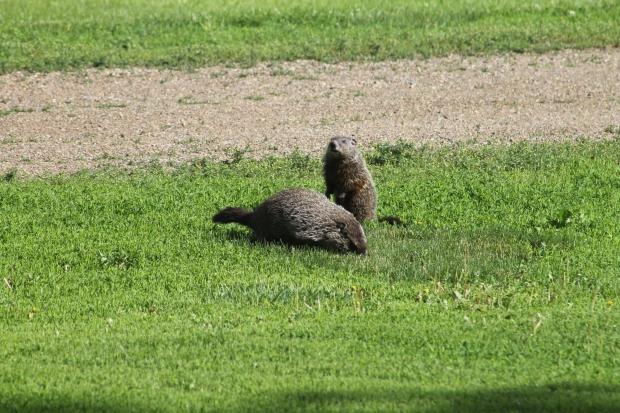 Mama and Baby Groundhogs.JPG