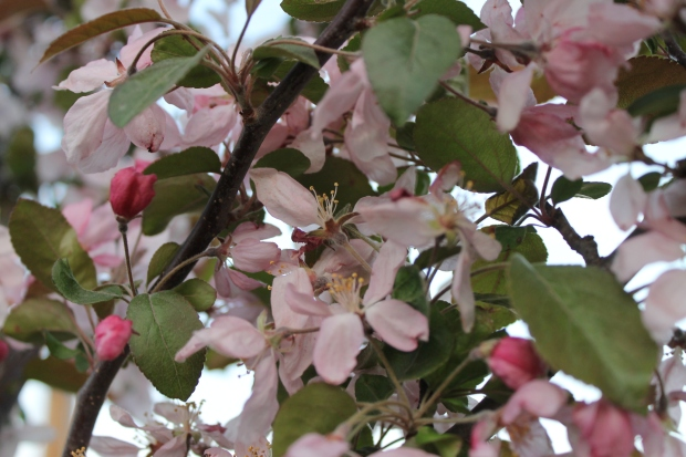IMG_3268 Apple Blossoms