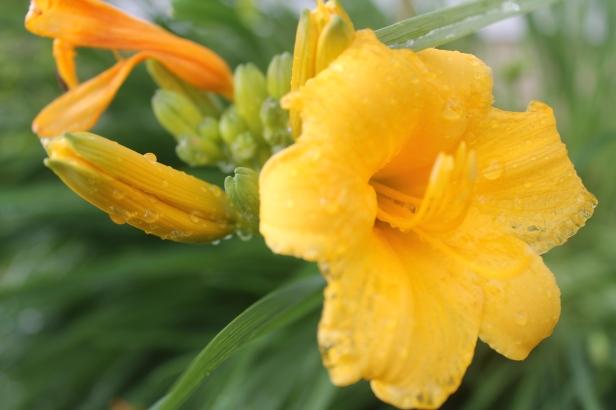 IMG_3698 Stella del Oro Lily
