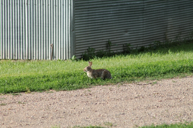 IMG_3707 Cottontail