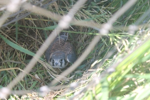 IMG_3713 Hiding Baby Kestrel