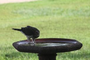 IMG_4102 Bird Hawk